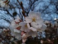 桜情報 (岡崎公園)
