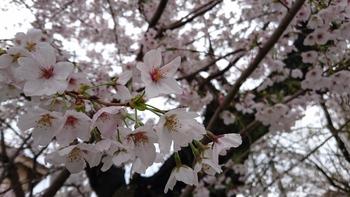 桜とやまのぶ梅坪店