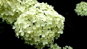 紫陽花のある 旧豊田喜一郎邸