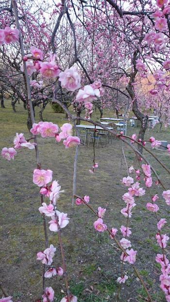 梅まつり☆平芝梅林公園