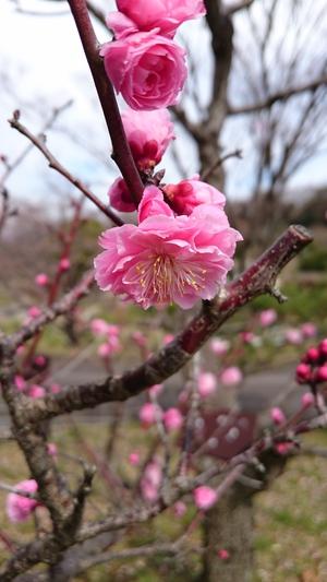 高専前の桜等々