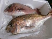 海釣りでゲットしたお魚、どうしますか?ご相談くださいね!豊田市魚料理 2017/07/07 16:39:16