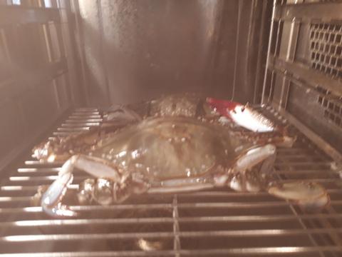 渡り蟹を蒸してます!