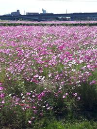 近くにコスモス畑がありました
