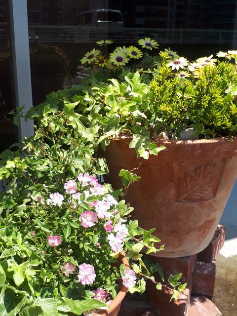 ミニバラも開花しました