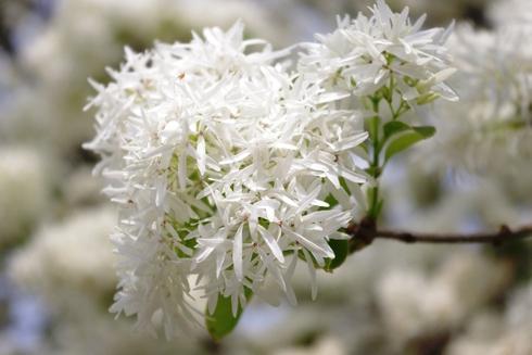 ミササガパークの芝桜とバラとなんじゃもんじゃ