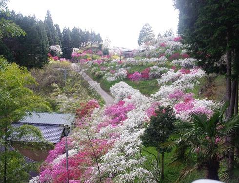 豊田市上中のしだれ桃が満開見頃です!