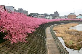 乙川(岡崎市)の葵桜(河津桜)が満開になりました