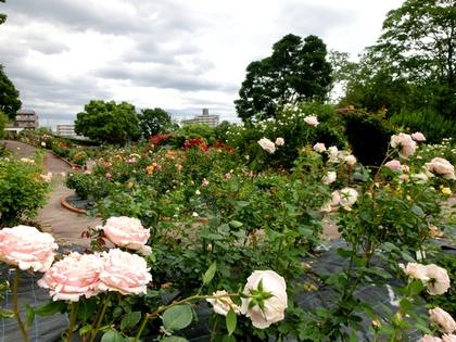 西山公園の花しょうぶ園とあじさいとバラ園