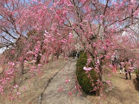 幸田しだれ桜まつり2015