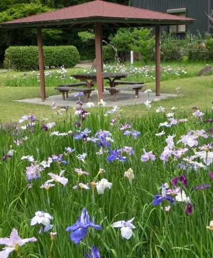 知立公園花しょうぶまつり2014