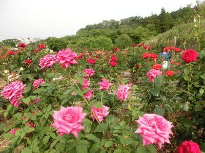 奥殿陣屋のバラ・ポピー・ギンガジウム花盛り