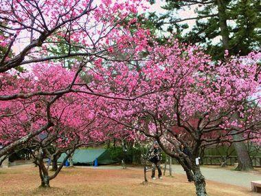 岡崎南公園の梅まつり2014。