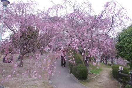 幸田しだれ桜まつり2014