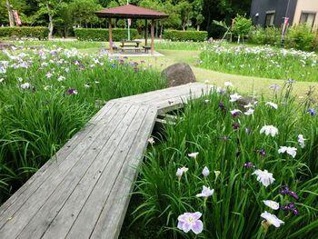 花しょうぶまつり@知立公園