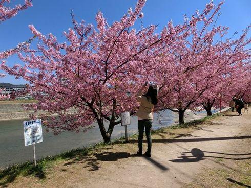 乙川沿い葵桜(河津桜)が満開です 岡崎市
