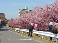 岡崎市乙川沿い葵桜(河津桜)そろそろ見頃になりました