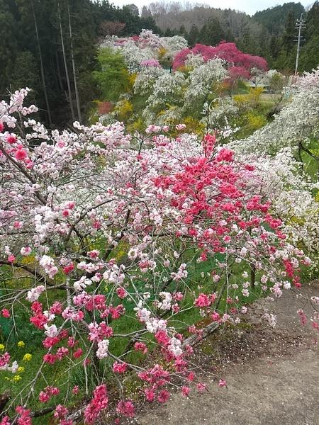 豊田市上中町の「しだれ桃の散歩道」