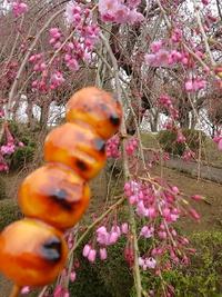 幸田しだれ桜まつり2017