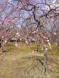 平芝公園梅まつり2017