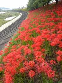 今日は彼岸花日和♪ 堤防沿の彼岸花の美しさに感動!