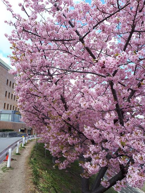 岡崎市乙川沿い葵桜とみたらし団子