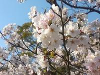 岡崎の桜まつり2017へ♪(桜の開花情報4月5日現在)