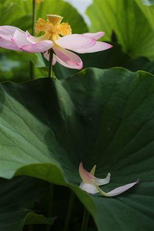 想い出のハスの花