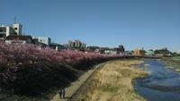 岡崎乙川沿いの河津桜でランニング