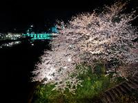 夜桜【岡崎公園】