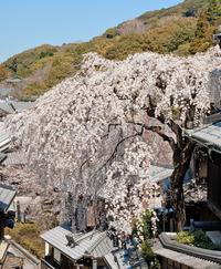 桜の京都-日帰り旅行