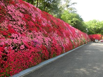 つどいの丘キリシマツツジ 豊田市