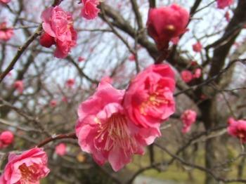 第9回平芝梅林公園梅まつり 梅は咲いたか