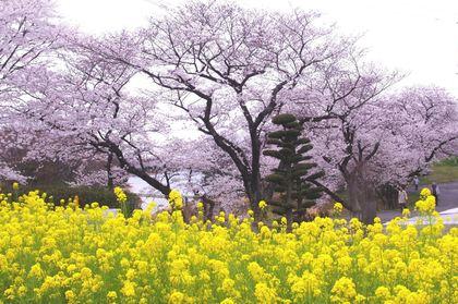 三好池の桜 トリムコース4km