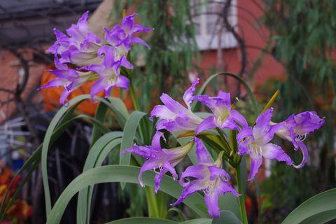 幻の花「ブルーアマリリス」開花INデンパーク
