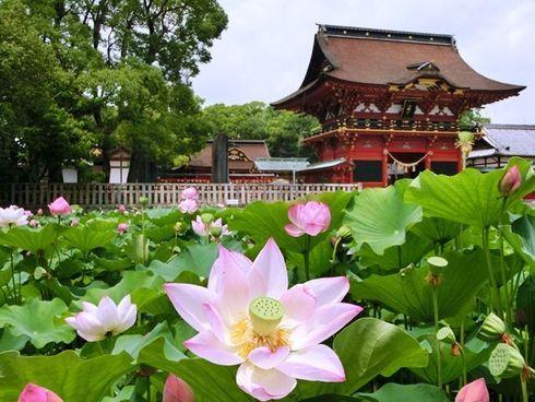 伊賀八幡宮の蓮の花
