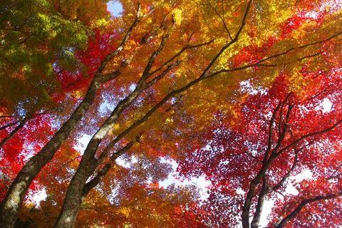 大井平公園もみじまつり2012 豊田市紅葉