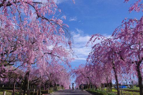 東谷山フルーツパークのしだれ桜満開