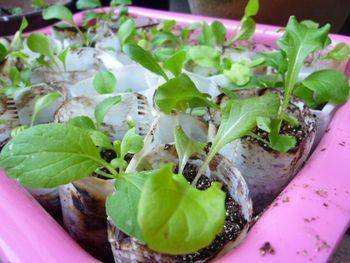 水耕栽培 サラダ編 種まきより1ヶ月