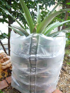 パイナップルの初めての冬越え