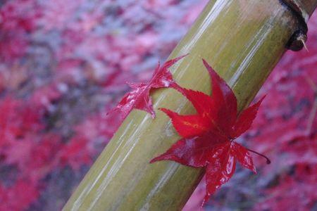 紅葉ハンター郡上②雨の中の紅葉もまたいい