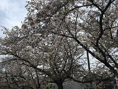 矢作川近くの水路沿いでお花見    団子は三河屋さんで調達!(豊田市)