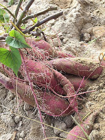 芋ほりに行って来ました!豊田市からスグの岡崎市で収穫体験