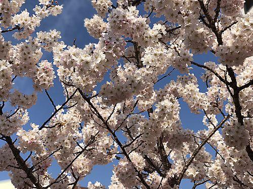 桜町本通り商店街の桜が満開♪ ドルチェヴィータ移転オープン4月7日 (豊田市桜町)