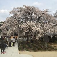 お花見   ① (豊田市)