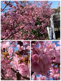 河津桜  (豊田市)