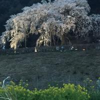 お花見  ②  (岡崎市)