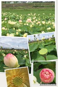 毎年楽しみな蓮の花(豊田市)