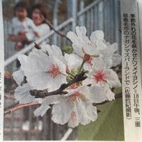 四季桜(豊田市)