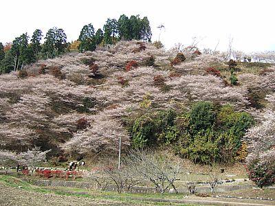 小原の四季桜⇒とうふやさんへ(豊田市)